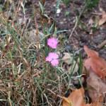 ホソバナデシコ 花の咲いている様子