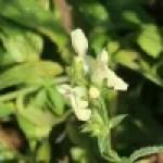 Hyssop-leaved mountain ironwort/ シデリティスヒソッピフォリア