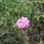 Old rose; Damask rose ダマスクスローズ