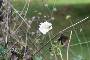 バイカイチゲ 花の様子