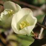 ボケ 白色の花のアップ