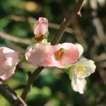 ボケ 薄桃色の花の姿