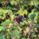 オヤマボグチ 花の姿