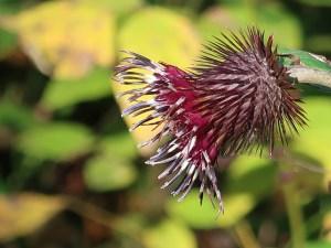 オヤマボグチ 花の姿 アップ