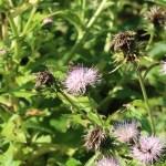 ハチジョウアザミ 花の様子