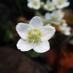 イズノシマウメバチソウ 花の姿