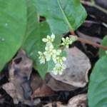 ツルソバ 花の咲いている様子