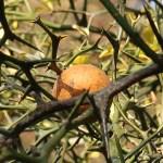 カラタチ 枝と実の様子