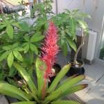 ポルテア・アラティセパラ 花の咲いている様子