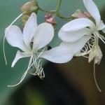 クラリンドウ 花の姿 アップ