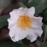 サザンカ 花の様子