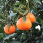 Citrus unshiu / ウンシュウミカン