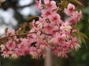 ヒマラヤザクラ 花の様子