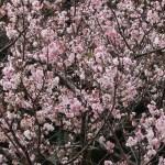 ジュウガツザクラ 冬に満開に花の咲いている様子