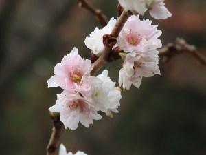 Cherry var. Kobuku zakura/ コブクザクラ