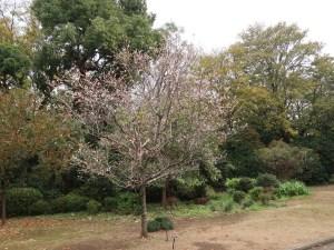 コブクザクラ 花の咲いている様子