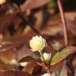 アカバセンニチコウ 花の姿