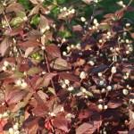 アカバセンニチコウ 花の咲いている様子