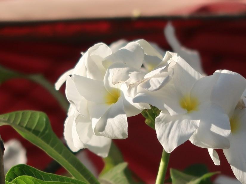 Wild Plumeria/ プルメリア プディカ