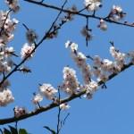 アンズ 花の咲いている様子