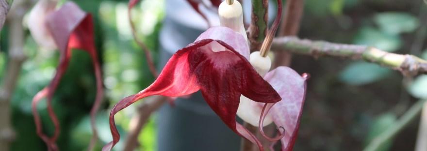Aristolochia tricaudata/ アリストロキア・トリカウダータ