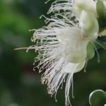 サガリバナ 花の姿 アップ