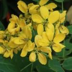 Cassia nii's gold/ カッシア ニイイズゴールド 花の姿