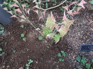 ヒコウキソウ 特徴的な葉の様子