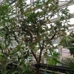 グアバ 木の様子
