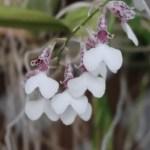 ロドリゲチア Rdza. decora