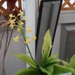 アサヒエビネ 花の咲いている様子