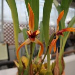 Flame orchids/ Maxillaria/ マキシラリア