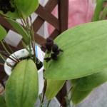 プレウロタリス タランチュラ 花の様子