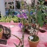 デンドロビウム Den. victoriae reginae