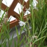 デンドロビウム Den. chrysopterum