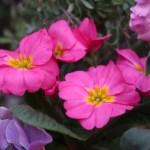 プリムラ・ポリアンサ 花の様子