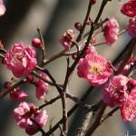 ウメ 紅梅 品種: 八重寒紅