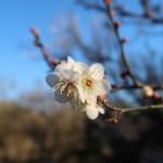 ウメ 白梅 品種:冬至 花の姿