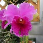 カトレア カトレア交雑種 Cattlianthe trianae (C. trianae)
