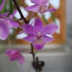 コチョウラン Phalaenopsis Phal. Lbing's Gem (=Dritaenopsis Lbing's Gem )