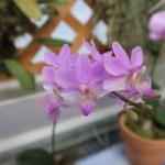コチョウラン Phal. Livingston's Gem (=Dritaenopsis Livingston's Gem )