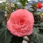 キュウコンベゴニア 花の姿 ピンクの花