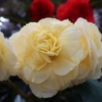 キュウコンベゴニア 花の姿 黄色の花