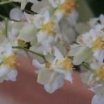 オンシジューム Onc. Twinkle Fragrance Gantasy