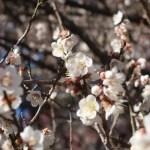 ウメ 花の様子 品種 冬至