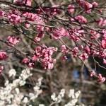 ウメ 花の咲いている様子 品種 八重寒紅