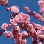 ウメ 花の姿 品種 未開紅