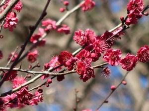 ウメ 花の様子 品種 鹿児島紅