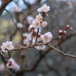 ウメ 花の様子 品種 三吉野