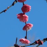 ウメ 花の様子 品種 唐梅